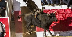Stop the Yawar fiesta where they kill a condor and a bull