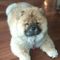 Chow chow puppy Perros Chow Chow, Chow Chow Dogs, Cute Puppies, Cute Dogs, Dogs And Puppies, Doggies, Zoo Animals, Animals And Pets, Cute Animals
