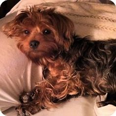Statewide and National, TX - Yorkie, Yorkshire Terrier. Meet Joey, a puppy for adoption. http://www.adoptapet.com/pet/10090595-statewide-and-national-texas-yorkie-yorkshire-terrier