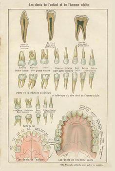 Teeth Adult Children French Vintage by MarcadeVintagePrints Medical Drawings, Medical Art, Dentist Cartoon, Dental Assistant Study, Illustrations Médicales, Image Collage, Dental Art, Medical Anatomy, Vintage Medical