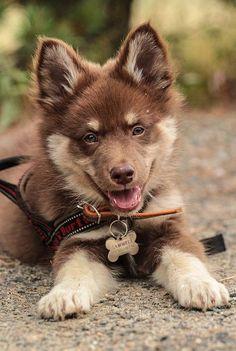 Precious puppy! Maybe Alaskan Malamute/German Shepherd Mix?????