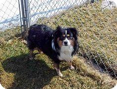 Lil Joe ( Mini Aussie)   Adopted Dog   Liberty Center, OH   Australian Shepherd