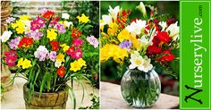 Freesias : Bring home Beauty with Fragrance - Plant Talk - NurseryLive Wikipedia