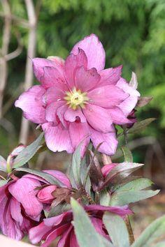 Helleborus / Lenten Rose / Hellebore Gardening Washington Zone 8 Garden Winter Blooms