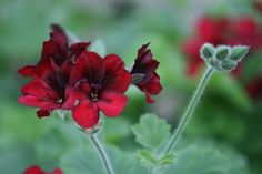 Pelargonium 'Mystery' - The sturdy upright growth is topped with long, slender stems carrying clusters of silken buds, which open to dark plum flowers. The colour intensifies towards the centre of each flower, especially on the upper two petals, where it becomes almost purple-black. It is a lavish colour, that is highlighted even further by the softly hairy, grey-green leaves.