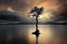 The Lonely Tree in Milarrochy Bay, Loch Lomond