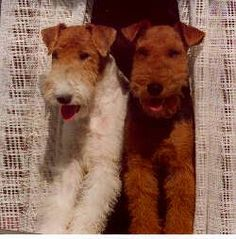 Welsh and a Wirehair Fox Terrier.  Great little dogs, lots of spunk and tenacity, which keep things interesting.