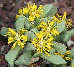 floración de Bijlia cana (Fam. Aizoaceae), una planta suculenta procedente del desierto del Gran Karoo (Sudáfrica).
