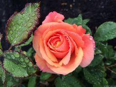 'Anna's Promise' Rose - San Jose Municipal Rose Garden, first year, first bloom