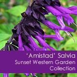'Amistad' Salvia from Sunset Western Garden Collection. See more Fashion Show entries here: http://www.nationalgreencentre.org/2013_Fashion_Show.vp.html