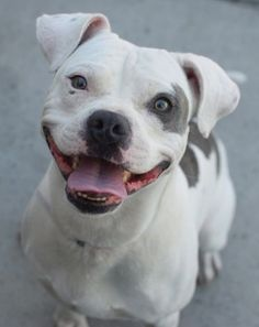 SAFE !   Brooklyn Center ST VINCENT – A1041538 MALE, WHITE / BROWN, PIT BULL MIX, 1 yr STRAY – STRAY WAIT, NO HOLD Reason STRAY Intake condition EXAM REQ Intake Date 06/26/2015 http://nycdogs.urgentpodr.org/rascal-aka-st-vincent-a1041538/