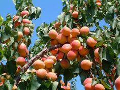 Αpricots on the trees