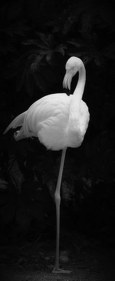 Flamingo. Unique. Black and White Photography.