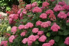 Finally, A Pinktober Fundraiser Thats Growing On Me. Invincible Spirit Hydrangea from Proven Winners.