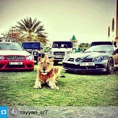 The royal arabians