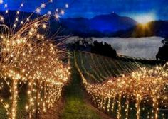 Holidays in the vineyards at Scheid Vineyards.  Wine Coast Country!  ~D~