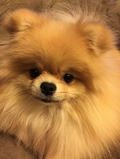 cutest pomeranian ever