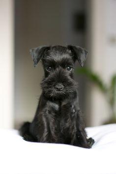 This lil black baby miniature schnauzer is sooo cute Google Search