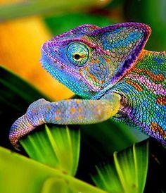 ~ Stunning Chameleon ~