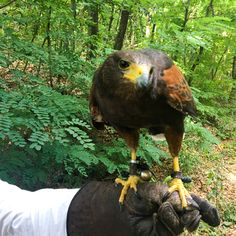Our Harris hawk Hlapić is looking for new friends. You should meet him, he is one of a kind. #lobagolatours #falconry #hunting #falcon #hawk #harrishawk #bird #birdsofprey #animallovers #wildlife #oldest #sport #fortification #yellowelephantpath #visitzagreb #microadventure #aboveandbeyond #landroverdefender #naturepark #weekendgetaway #citybreak #daytrips