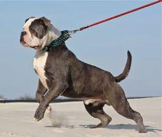 RoyalDawg Family Olde Bulldogge Forum American Bulldog Puppies, American Bulldogs, English Dogs, Old English Bulldog, Big Dogs, I Love Dogs, Blue Blood Bulldog, Rare Dog Breeds, Bulldog Breeds