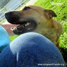Ginger, a young Shar Pei mix female, available for adoption from Sarge's Animal Rescue in Waynesville, NC.  An incredibly loving and affectionate dog.