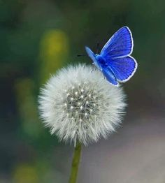 Witness the stunning blue butterfly on the fragile dandelion. The humble dandelion flower provides vitamin K to strengthen bones. Beautiful Butterflies, Beautiful Flowers, Beautiful Pictures, White Flowers, Butterfly Kisses, Blue Butterfly, Picture Of A Butterfly, Morpho Butterfly, Blue Morpho