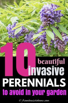 Invasive plant species are difficult to maintain and can destroy the natural environment. Find out which perennials to avoid planting in your garden landscaping. #fromhousetohome #invasiveplants #gardeningtips #lowmaintenancegarden #shadeperennials #sunperennials Bamboo Species, Plant Species, Perennial Grasses, Hardy Perennials, Privacy Landscaping, Landscaping Trees, Wisteria Plant, Low Maintenance Backyard, Autumn Clematis