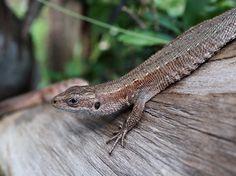 Sisilisko Reptiles, Snake, Animals, Animales, Animaux, A Snake, Animal, Animais, Snakes