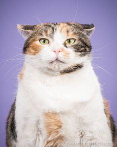 """Сэло. """"Сэло - хороший кот: он не царапается, не кусается, хорошо себя ведет, любит поиграть, поесть и поспать на середине комнаты"""". Фотограф Пит Торн, некогда уже создавший фотокнигу о собаках, теперь представляет общественности новую серию своих фото. Она называется """"Толстые коты"""". Каждый портрет пушистого толстячка снабжен небольшой историей из его жизни или характеристикой его самого."""