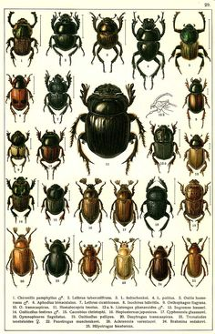 """G.G. Yakobson (1905-1915) - """"Beetles of Russia"""": table 29"""