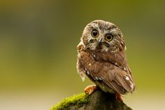 It's about the owl. Owl photos and my writing on the walls. 20 interesting information about owls were presented to you by many photographers. Owl background wallpapers in here! Beautiful Owl, Animals Beautiful, Baby Owls, Cute Baby Animals, Animal Babies, Wild Animals, Funny Animals, Owl Facts, Saw Whet Owl