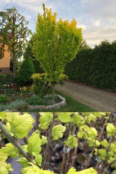 🥇 Wyrazisty, złoty kolor wiązu holenderskiego rozjaśni każdy ogród. Gałęzie skierowane pionowo ku górze sprawiają, że drzewo jest dość wąskie, a jednocześnie może osiągnąć nawet 10 metrów wysokości 🌳  ✔ Roślina jest łatwa w uprawie: ma niewielkie wymagania glebowe i jest odporna na suszę🤍  #wiązholenderski #Wredei #drzewaozdobne #sadzonkiroślin Plants, Plant, Planets