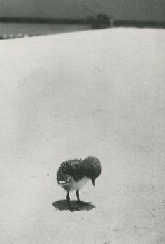 """""""A sooty tern chick stands forlornly on the beach, waiting for its parents to return from their daily hunting trip at sea."""" (Life magazine, early 1950s)"""