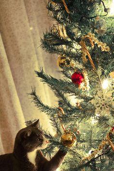 これをあれの首に飾ったらさぞ綺麗であろう 。                                christmas cat