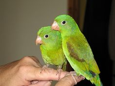 I had one of these when we were there.......Panama Parakeets