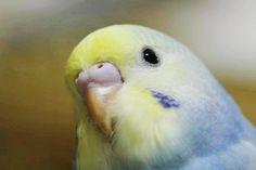 Lemon yellow rainbow Budgie