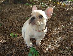 Pale Fawn French Bulldog.