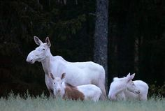 An interesting moose family