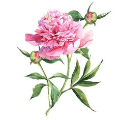 Amazon.com: Wallmonkeys WM221100 Pink Peonies Botanical Watercolor Illustration Peel and Stick Wall Decals (18 in H x 18 in W): Home & Kitchen