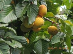 Santol My Childhood, Fruit