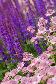 "Salvia x Sylvestris 'Tanzerin' and Astrantia ""Roma'"
