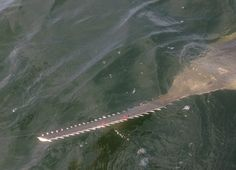 Are Treasure Coast waters teeming with endangered sawfish?