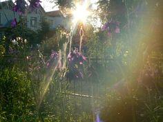 польові дзвіночки в садку