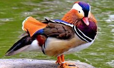 'The Most Beautiful Duck in the World': Mandarin Duck Sighted Again in Western Canada Lake Aix Galericulata, Duck Species, Ducky Duck, Red Bill, Mandarin Duck, Puzzle Of The Day, Bird Quotes, Park In New York, Western Canada