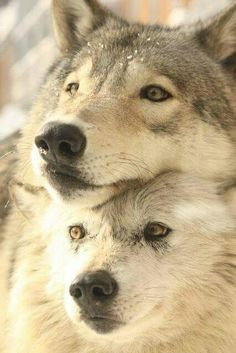 (unless stated, none of the pictures are mine. Wolf Spirit, My Spirit Animal, Wolf Pictures, Animal Pictures, Beautiful Creatures, Animals Beautiful, Der Steppenwolf, Malamute, Animals And Pets
