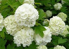 Viburnum opulus 'Strömsund' E skogsolvon 'Strömsund' Härdighet: Zon 1-6 Växtsätt: Stor buske, ganska långsamväxande Höjd: 2-3 m Blomning: Vita blommor i halvklotlika blomsamlingar Växtplats: Sol-halvskugga. Anspråkslösa jordkrav. Vindtålig. Användning: Används främst som frisående  inga trädgårdsförsöksstation, SLU samt Arboretum Norr.