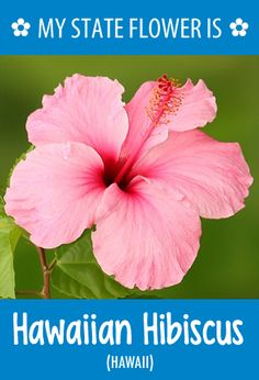 #Hawaii's state flower is the Hawaiian Hibiscus. What's your state flower? http://pinterest.com/hometalk/hometalk-state-flowers/