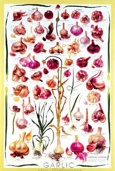Garlic types poster ... black or white background, both out of stock, out of print.