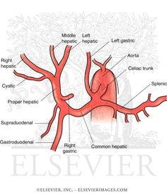 The Most Common Anatomy of the Celiac Axis and Hepatic Arterial System
